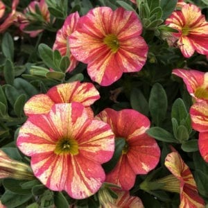 CALIBRACHOA SUPERBELLS TROPICAL SUNRISE MILLIONBELLS