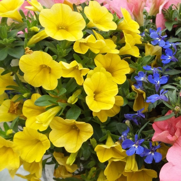 CALIBRACHOA SUPERBELLS YELLOW MILLIONBELLS