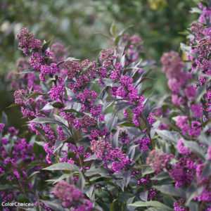 Purple Beautyberry - Callicarpa