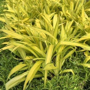 CAREX BANANA BOAT SEDGE