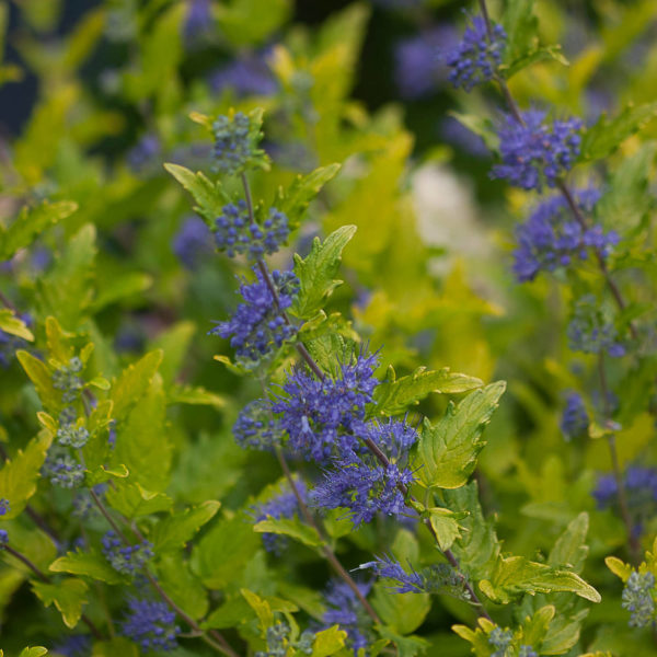 CARYOPTERIS LIL MISS SUNSHINE BLUEBEARD
