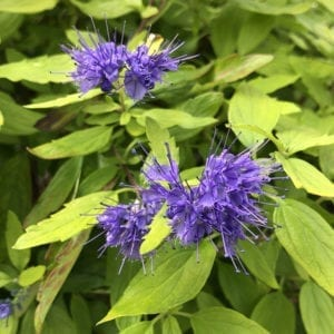 CARYOPTERIS SUNSHINE BLUE II BLUEBEARD