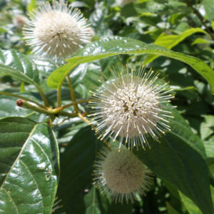 CEPHALANTHUS SUGAR SHACK BUTTON BUSH