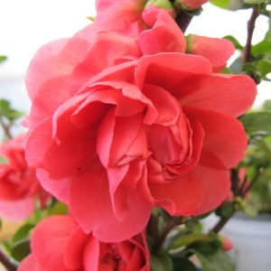 CHAENOMELES DOUBLE TAKE PINK QUINCE