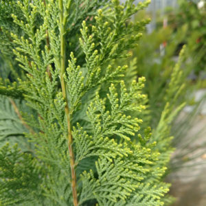 False Cypress - Chamaecyparis