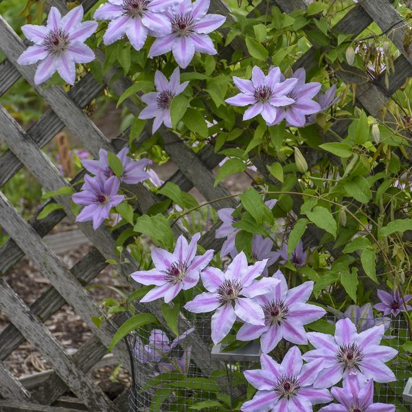 CLEMATIS NELLY MOSER CLEMATIS