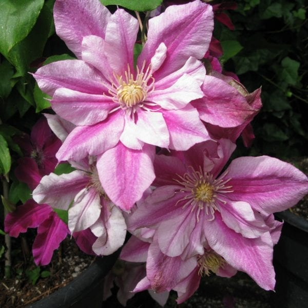 CLEMATIS PATRICIA ANN FRETWELL CLEMATIS
