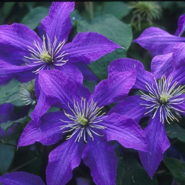 CLEMATIS RHAPSODY CLEMATIS