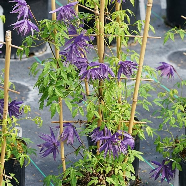 CLEMATIS SPARKY BLUE CLEMATIS