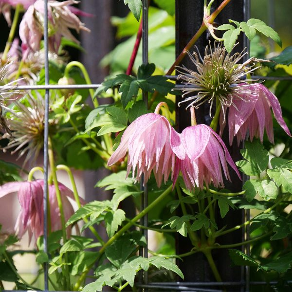 CLEMATIS SPARKY PINK CLEMATIS