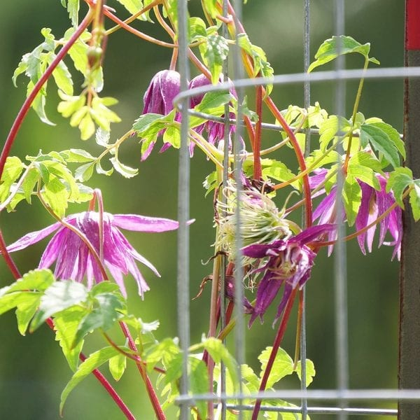 CLEMATIS SPARKY PURPLE CLEMATIS