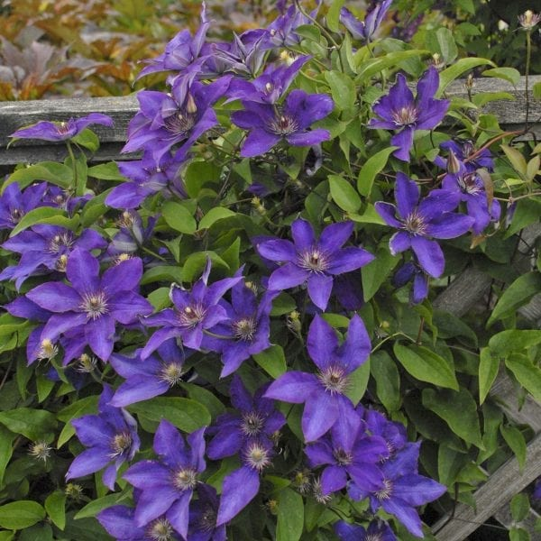 CLEMATIS THE PRESIDENT CLEMATIS