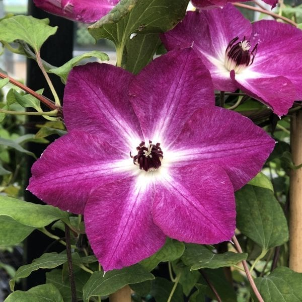 CLEMATIS VIVA POLONIA CLEMATIS