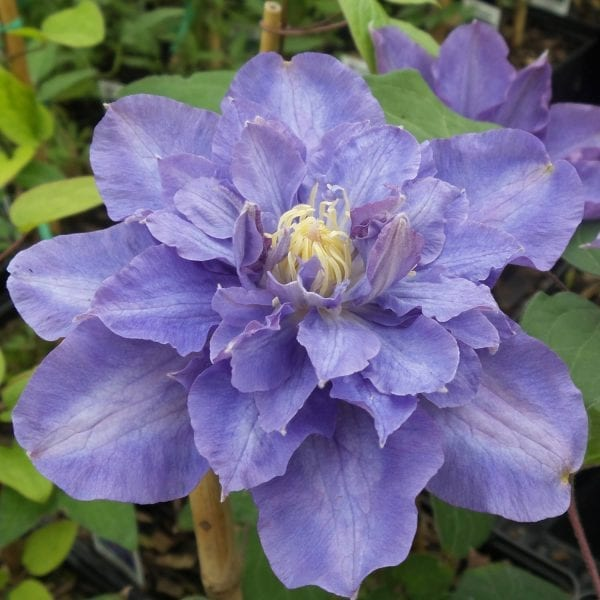 CLEMATIS VYVYAN PENNELL CLEMATIS