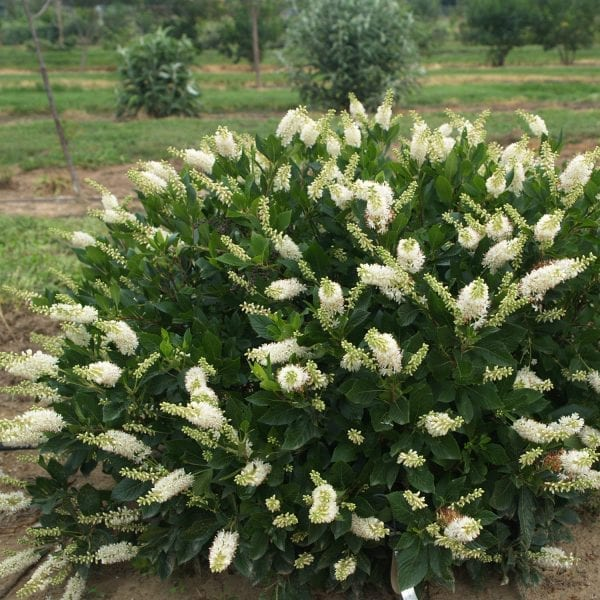 CLETHRA SUGARTINA CRYSTALINA SUMMERSWEET
