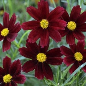 COREOPSIS RED ELF LIL BANG TICKSEED