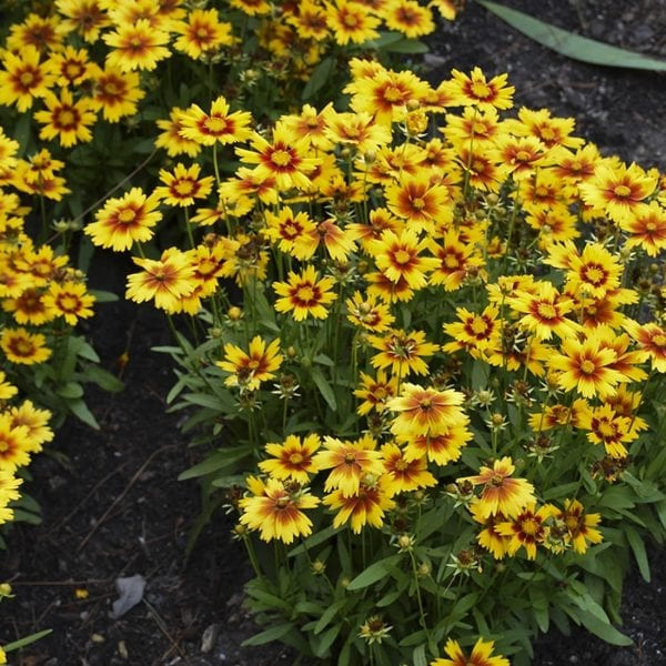 COREOPSIS UPTICK GOLD AND BRONZE TICKSEED