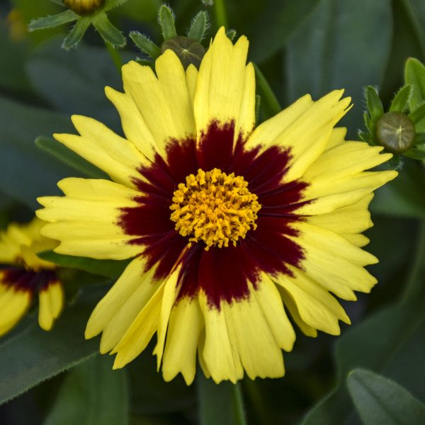 COREOPSIS UPTICK YELLOW AND RED TICKSEED