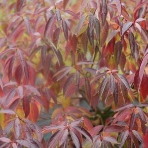 CORNUS RED ROVER SILKY DOGWOOD