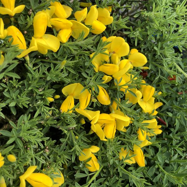 CYTISUS SISTER GOLDEN HAIR SCOTCH BROOM