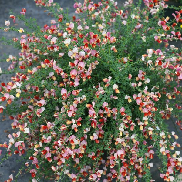 CYTISUS SISTER ROSIE SCOTCH BROOM