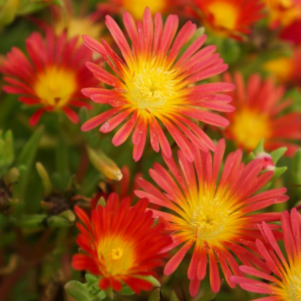 DELOSPERMA BUTTON UP FIRE ICE PLANT