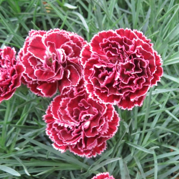 DIANTHUS FRUIT PUNCH BLACK CHERRY FROST PINKS