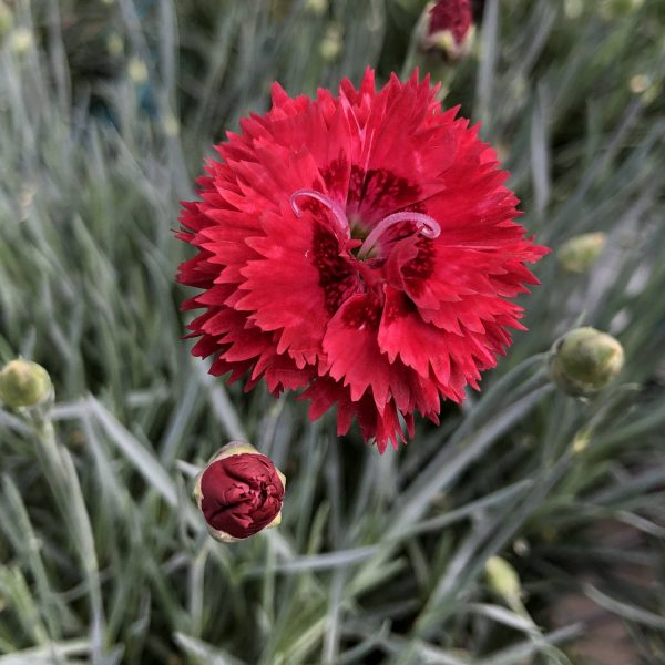 DIANTHUS FRUIT PUNCH MARASCHINO PINKS