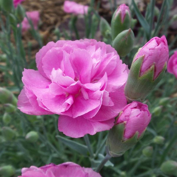 DIANTHUS FRUIT PUNCH SWEETIE PIE PINKS