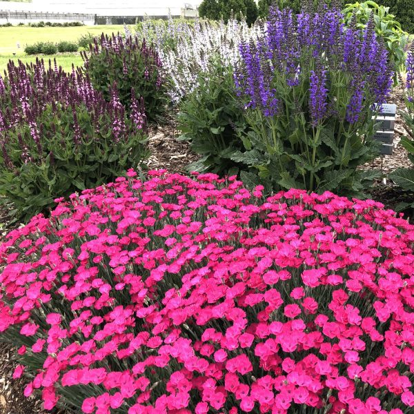 DIANTHUS PAINT THE TOWN MAGENTA PINKS