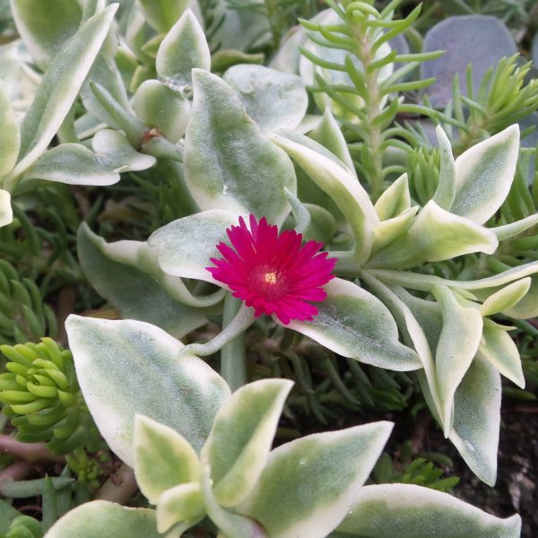 DOROTHEANTHUS MEZOO TRAILING RED LIVINGSTONE DAISY