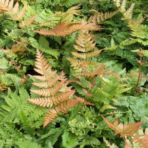 DRYOPTERIS BRILLIANCE AUTUMN FERN