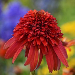 ECHINACEA CONEFECTIONS HOT PAPAYA CONEFLOWER