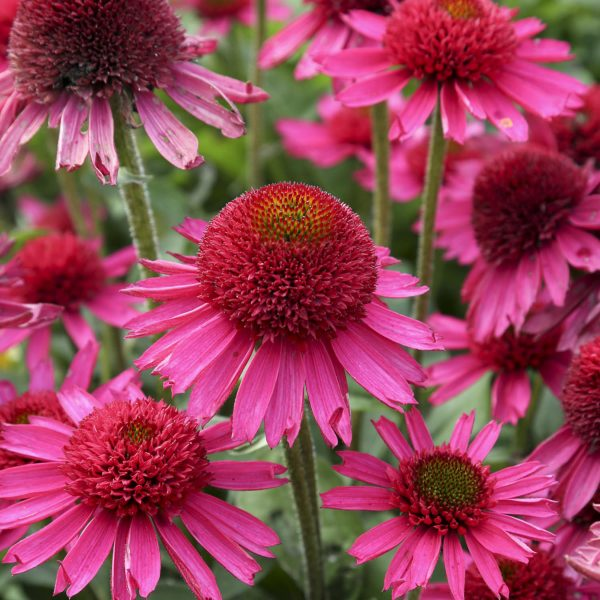 ECHINACEA DELICIOUS CANDY CONEFLOWER
