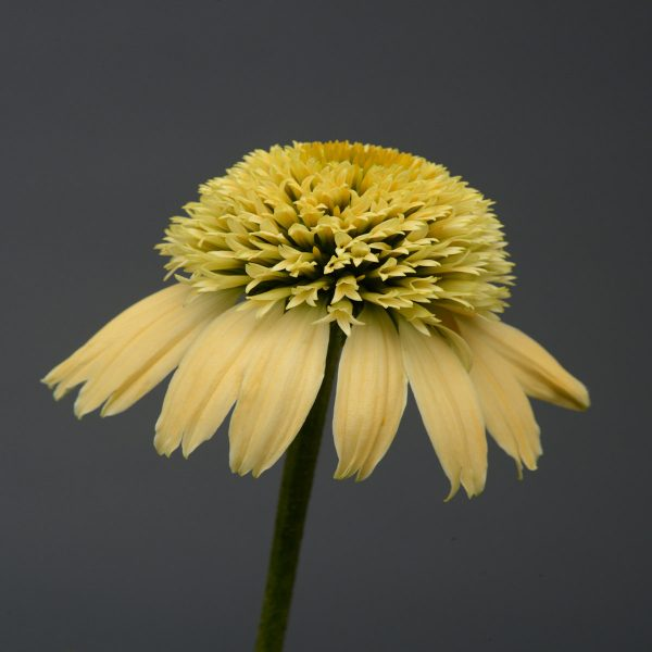ECHINACEA DOUBLE SCOOP LEMON CREAM CONEFLOWER