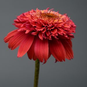 ECHINACEA DOUBLE SCOOP ORANGEBERRY CONEFLOWER