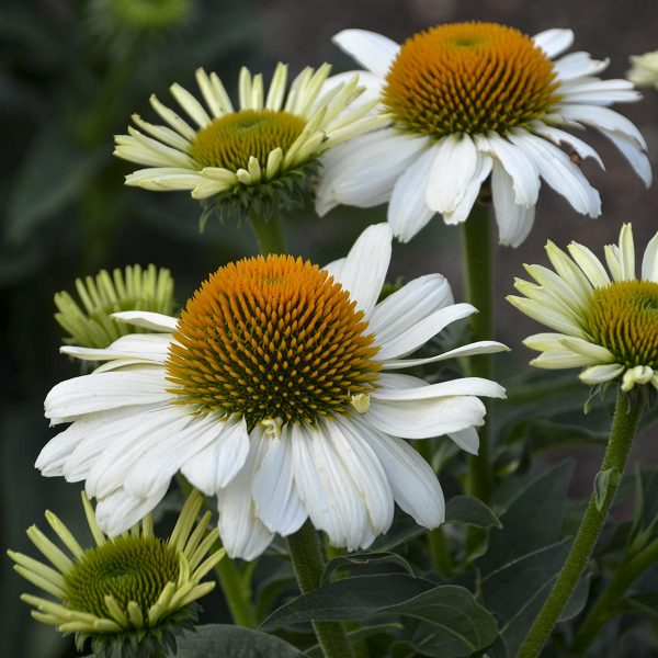 ECHINACEA EYE CATCHER SWAN SONG CONEFLOWER