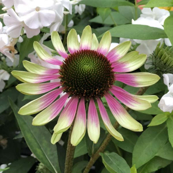 ECHINACEA GREEN ENVY CONEFLOWER