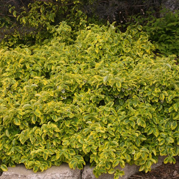 EUONYMUS GOLD SPLASH SPINDLE TREE
