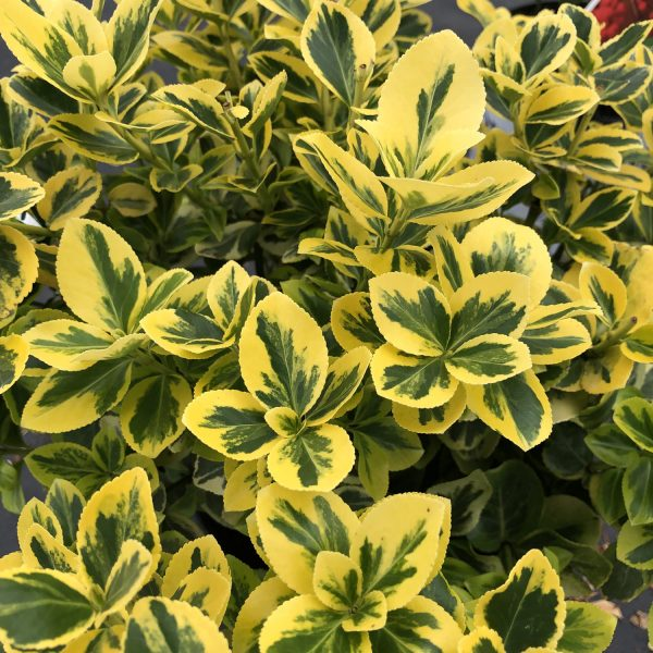EUONYMUS GOLD SPLASH WINTERCREEPER