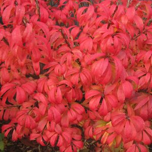 EUONYMUS UNFORGETTABLE FIRE BURNING BUSH
