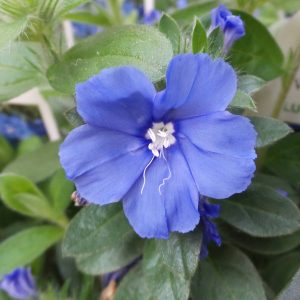 EVOLVULUS BLUE MY MIND DWARF MORNING GLORY