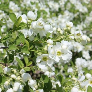 EXOCHORDA SNOW DAY BLIZZARD PEARL BUSH