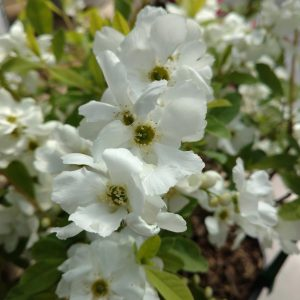 Pearl Bush - Exochorda