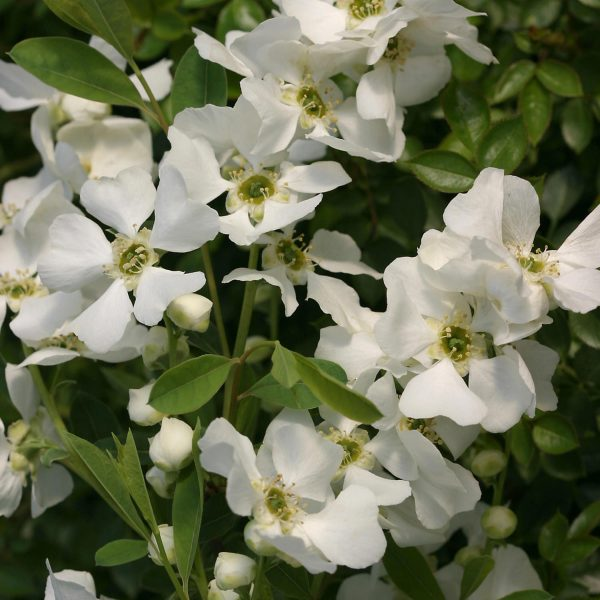 EXOCHORDA SNOW DAY SURPRISE PEARL BUSH