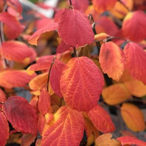 FOTHERGILLA LEGEND OF THE FALL BOTTLEBRUSH