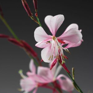 GAURA STRATOSPHERE GAUDPIN PINK PICOTEE BUTTERFLY FLOWER
