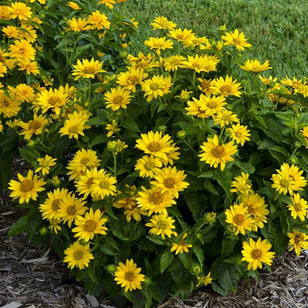 HELIOPSIS TUSCAN GOLD FALSE SUNFLOWER