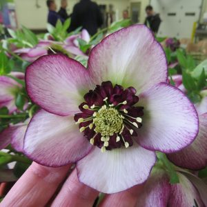 HELLEBORUS HONEYMOON FRENCH KISS LENTEN ROSE