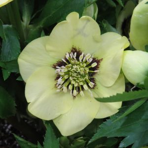 HELLEBORUS HONEYMOON SPANISH FLARE LENTEN ROSE